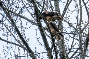 Portia, The Red Tailed Hawk, returns for a second season