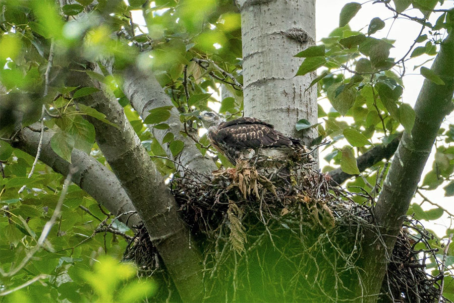 Red-Tailed Hawk nest
