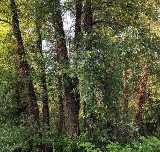 Dead ivy on trees